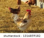 a rooster standing on some straw   Shutterstock . vector #1316859182