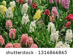 flower bed with blooming...   Shutterstock . vector #1316866865