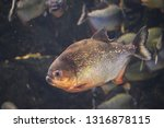 ordinary piranhas are a species ... | Shutterstock . vector #1316878115