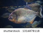 ordinary piranhas are a species ... | Shutterstock . vector #1316878118