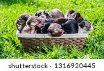 basket with cute puppies on a... | Shutterstock . vector #1316920445