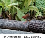 Small photo of A red-legged crake bird looking to get across a footpath in a public park. The bird is usually shy and secretive .