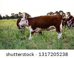 cows raised with natural grass  ... | Shutterstock . vector #1317205238
