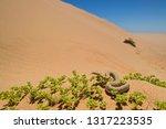peringuey's adder   bitis... | Shutterstock . vector #1317223535