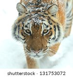 Portrait Of Tiger In Its...