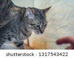 the gray striped cat is walking ...   Shutterstock . vector #1317543422