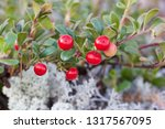 a bearberry shrub with red... | Shutterstock . vector #1317567095
