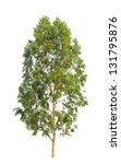 Eucalyptus Tree  Tropical Tree...