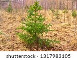 little spruce in the forest in... | Shutterstock . vector #1317983105