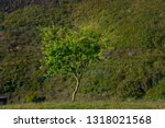 green tree stand alone in the... | Shutterstock . vector #1318021568