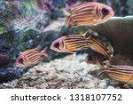 Redcoat squirrel fish in marine aquarium