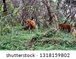 horse in a polylepis forest at... | Shutterstock . vector #1318159802