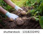 farmer harvesting potatoes in... | Shutterstock . vector #1318232492