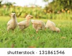 Small Chicks In The Grass