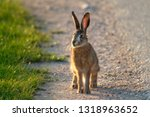 Stock photo european hare lepus europaeus stands on the ground and looking at the camera young hare in the 1318963652