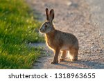 Stock photo european hare lepus europaeus stands on the ground and looking at the camera young hare in the 1318963655
