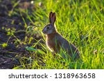 Stock photo european hare lepus europaeus stands on the ground and looking at the camera young hare in the 1318963658