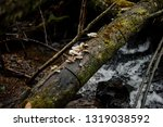 wild mushrooms growing on the... | Shutterstock . vector #1319038592