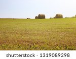 twisted yellow haystack on...   Shutterstock . vector #1319089298