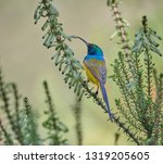 Orange Breasted Sunbird After...