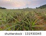 Plantation Pineapple Fields