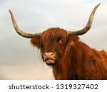 portrait of a red scottish... | Shutterstock . vector #1319327402