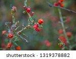 chollo cholla cactus christmas... | Shutterstock . vector #1319378882