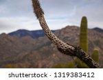 cholla cactus skeleton bones... | Shutterstock . vector #1319383412