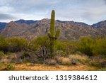 saguaro cactus arms desert... | Shutterstock . vector #1319384612