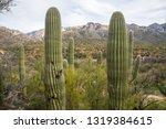 saguaro cactus arms desert... | Shutterstock . vector #1319384615