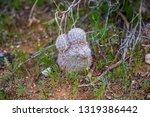 pincushion cactus desert... | Shutterstock . vector #1319386442
