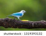 shining honeycreeper  cyanerpes ... | Shutterstock . vector #1319393132