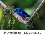 shining honeycreeper  cyanerpes ... | Shutterstock . vector #1319393162