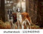 Russian Borzoi Dogs Portrait I...