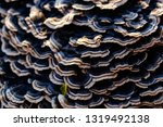 Black Turkey Tail Mushroom