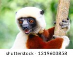 Coquerel\'s Sifaka Lemur In The...