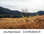 taehwagang park reeds in ulsan  ... | Shutterstock . vector #1319630315