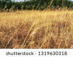 taehwagang park reeds in ulsan  ... | Shutterstock . vector #1319630318
