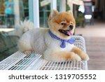 cute pomeranian dog happy smile ... | Shutterstock . vector #1319705552