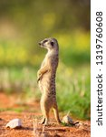 the meerkat or suricate ... | Shutterstock . vector #1319760608