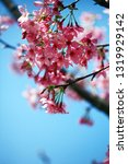 cherry blossoms in spring | Shutterstock . vector #1319929142