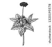 hand drawn ginseng plant. retro ... | Shutterstock .eps vector #1320195578