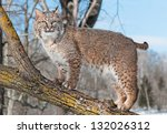 Bobcat  Lynx Rufus  Stands On...