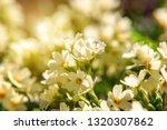 Primrose Primula With Yellow...