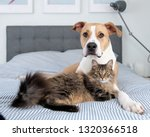 Stock photo young mixed breed dog relaxing with norwegian forest cat on bed 1320366518