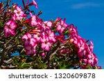 Desrt rose or Pink bignonia flowers.