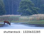 red stag drinking | Shutterstock . vector #1320632285