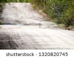 Stock photo hare on a country road in spring in evening hours of feeding and mating activity rut of hares 1320820745