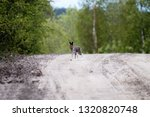 Stock photo hare on a country road in spring in evening hours of feeding and mating activity rut of hares 1320820748