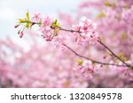 beautiful cherry blossom in... | Shutterstock . vector #1320849578
